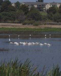 White pelicans on a lake